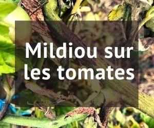 mildiou sur les tomates