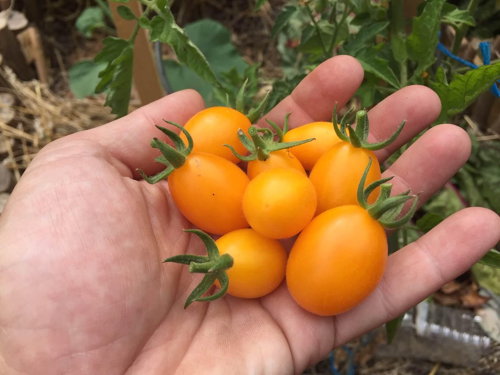 Comment planter des tomates cerises (pour l'apéro)