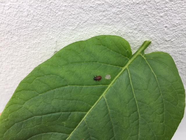 Doryphore lutter contre les larves de doryphores - Lutter contre les moustiques dans le jardin ...