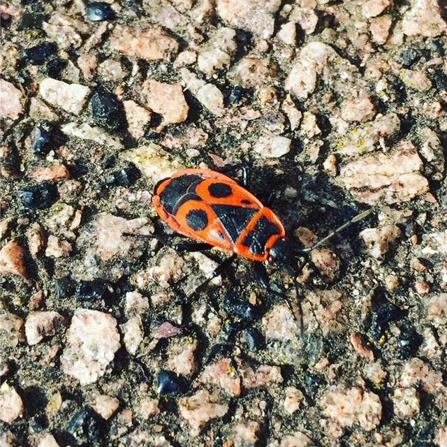 Le gendarme insecte inoffensif