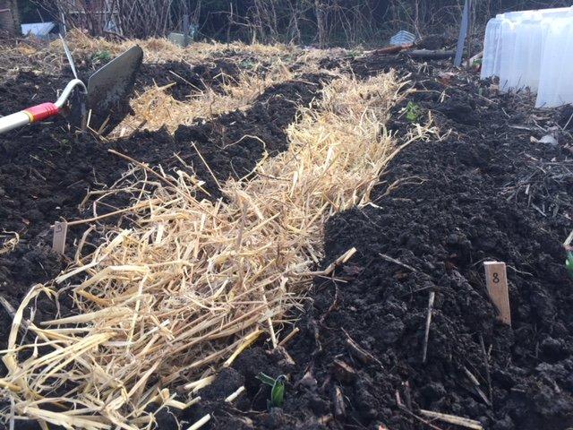 Plantation des pommes de terre en 2018 jardin potager bio - Planter des pommes de terre germees ...