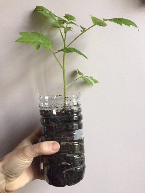 semis et plantation des tomates en bouteille. Black Bedroom Furniture Sets. Home Design Ideas