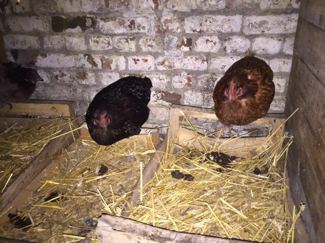 Avoir des poules pondeuses ce qu 39 il faut savoir - Avoir des poules dans son jardin ...