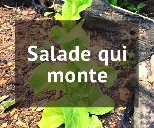salade qui monte en graines
